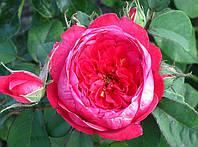 «Бенжамин Бриттен». Английская роза. , фото 1