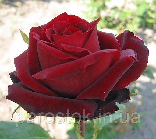 Роза Перл Нуар. Чайно-гибридная роза.