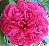 Роза Шекспир. Английская роза.