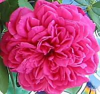 Роза Шекспир. Английская роза. , фото 1