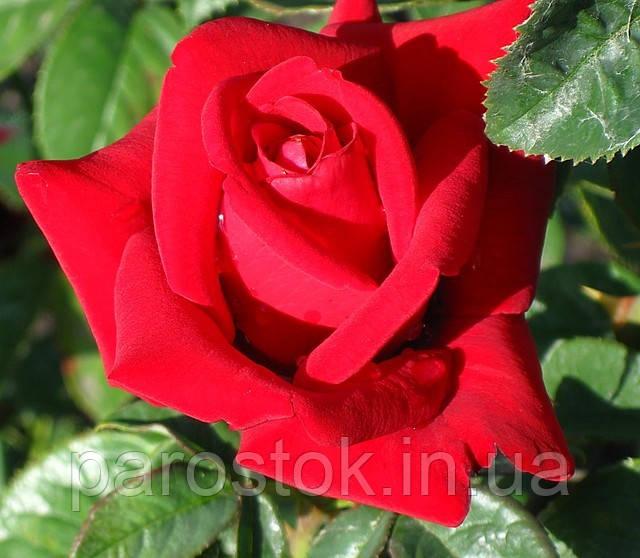 Роза Бургунд. Чайно-гибридная роза