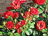 Роза Ред Макарена. Спрей роза.