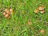 Чому на газоні ростуть гриби?