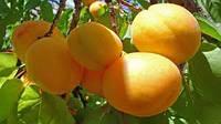 Саженцы абрикоса Шалах (ананасный)