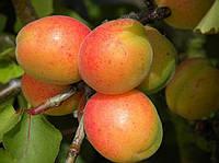 Саженцы абрикоса Сульмона (ананасный)