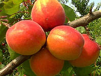 Саженцы абрикоса Киото