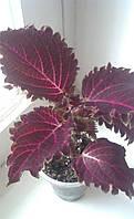 Колеус Crimson Ruffles