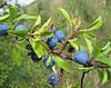 Терн плоды 50 гр