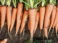 Морковь Скарла 3 грамма, фото 1