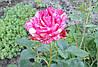 Розы для души!