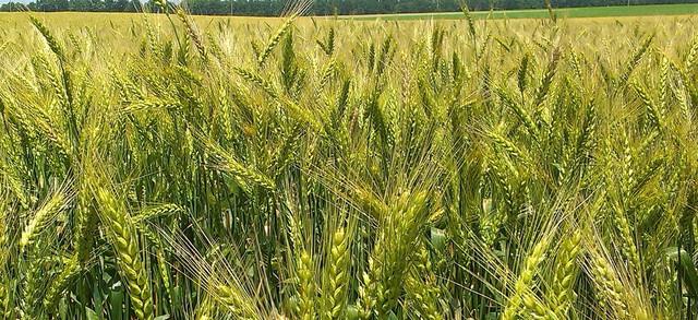 Семена озимой пшеницы, ячменя, гороха