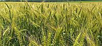 Озимая пшеница Лира элита остистая (прототип Антоновка)