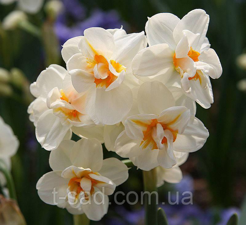 Нарцис Sir Winston Churchill (Сер Вінстон Черчілль) багатоквітковий