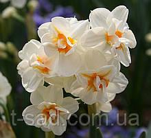 Нарцисс Sir Winston Churchill (Сэр Уинстон Черчилль) многоцветковый