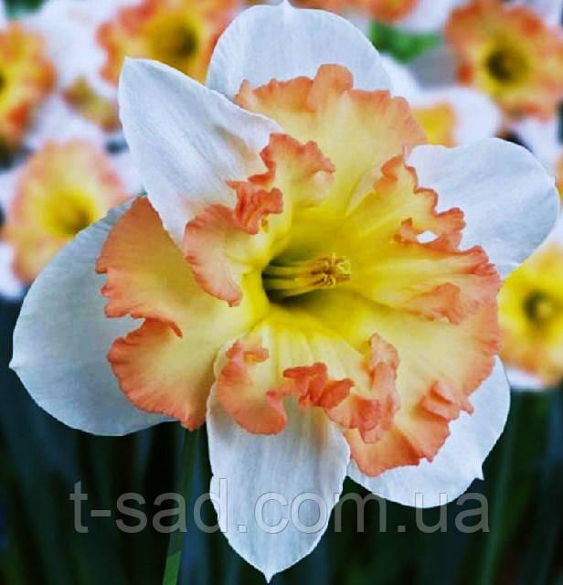Нарцисс Taurus (Таурус) крупноцветковый 12/14
