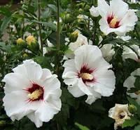 Семена гибискуса Ред Хард (белый) 60шт