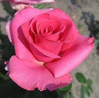 Роза «Ланкоме». Чайно-гибридная роза. , фото 1