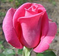 Роза «Равель». Чайно-гибридная роза. , фото 1