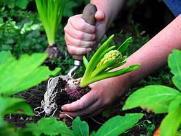 Посадка луковичных растений осенью