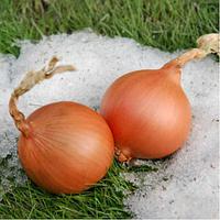 Семена гибрида лука репчатого сорта Экстра Эрли Голд F1 для зимнего посева