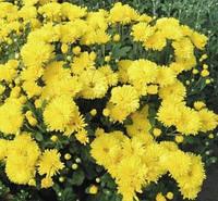 Хризантема златовласка