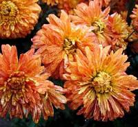 Хризантема красная пестрая