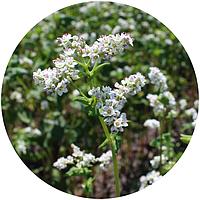 Семена гречихи София (БС, элита)