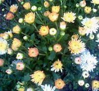 Хризантема шаровидная белая с бежевой серединой