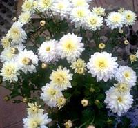 Хризантема шаровидная белая с лимонной серединой