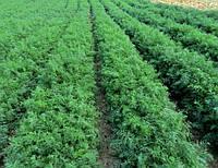Укроп Аллигатор семена высокоурожайного сорта укропа для выгонки зелени и переработки