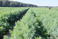 Укроп Скиф семена ароматного высокоурожайного укропа для выгонки зелени и универсального применения сорта