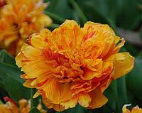 Тюльпан махровый многоцветковый Double Beauty of Apeldoorn (Дабл Бьюти оф Апельдорн) 3 шт./уп.