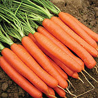 Морковь Нантская  среднеспелая без серцевины с тупым коньчиком для зимнего хранения ( весовые семена)