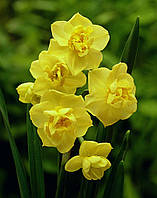 Нарцисс Yellow Cheerfulness (Еллоу Чирфулнес) махровый, многоцветковый 12/14
