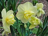 Нарцис Yellow Cheerfulness (Єллоу Чирфулнес) махровий, багатоквітковий 10/14, фото 2