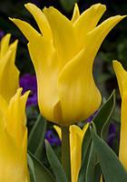 Тюльпан лилиевидный Ballade Gold (Баллада Голд) 3 шт./уп.
