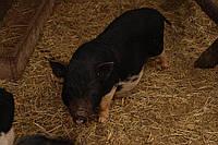 Миниатюрные свинки, карликовые поросята до 14 кг - мини-пиг