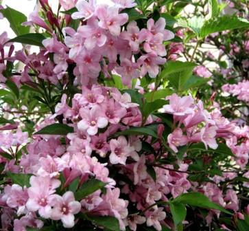 фото вейгела розовая