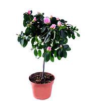 Азалия розовая на штамбе