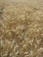 Семена озимой пшеницы Златоглава, 1-я реп.