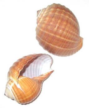 Ракушка Пузырь 11 см, коричневая