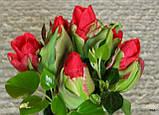 Тюльпан Double Crosby (Дабл Кросбі) 11/12 новий сорт, фото 3