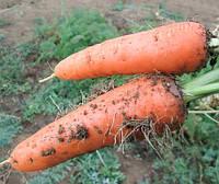 Морковь Абако F1 семена сорта ранней моркови типа Шантане с тупым кончиком