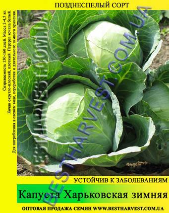 Семена капусты Харьковская зимняя 0.5 кг, белокочанная, фото 2