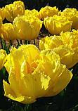 Тюльпан Exotic Sun (Экзотик Сан) 11/12, фото 2