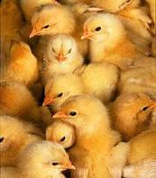 Продажа суточных цыплят на корм