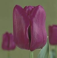 Тюльпан Пассиональ