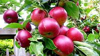 Саженцы яблони на карликовом подвое Б7-35 и на среднерослых - ММ106 и 54-118