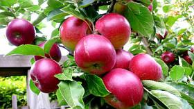 Саженцы яблони: сорта - летние, осенние, зимние, красномясые.