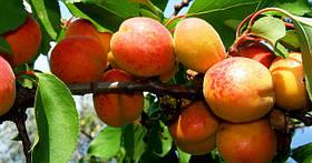 Саженцы абрикоса: сорта раннего, среднего и позднего срока созревания.